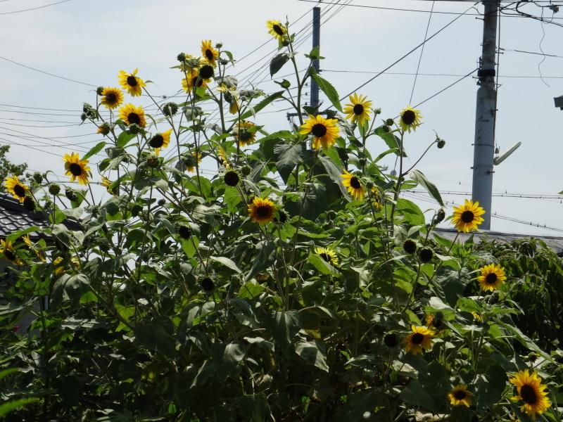 暑い最中に花壇作業_c0108460_17080900.jpg