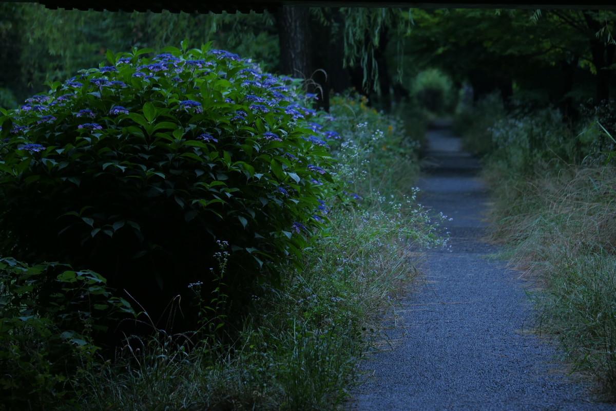 伏見 中書島界隈   6/21 紫陽花_f0021869_22261339.jpg