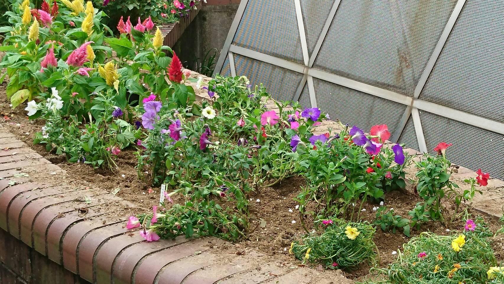 ガーデンふ頭総合案内所前花壇の植替えH29.7.24_d0338682_09112743.jpg