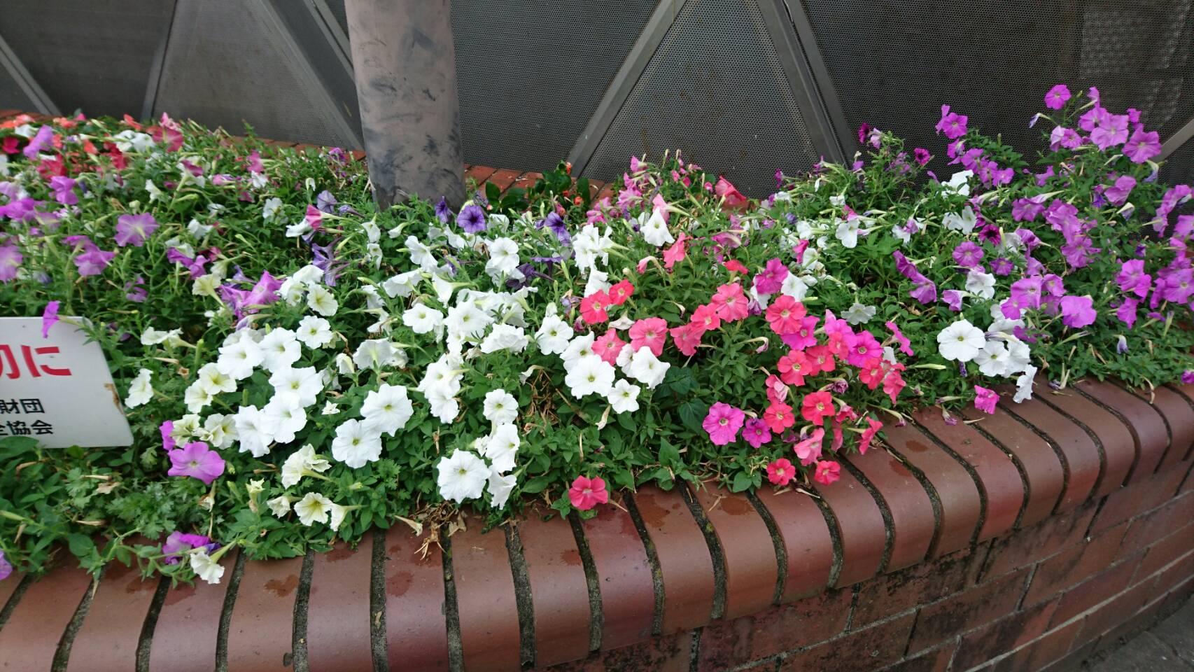 ガーデンふ頭総合案内所前花壇の植替えH29.7.24_d0338682_09141087.jpg