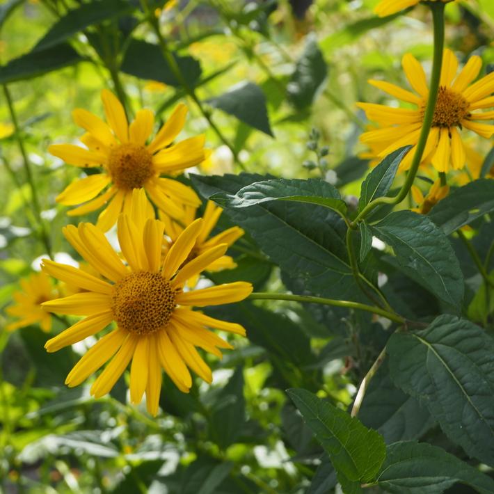 夏のお花、ヒメヒマワリ咲いた_a0292194_16183817.jpg