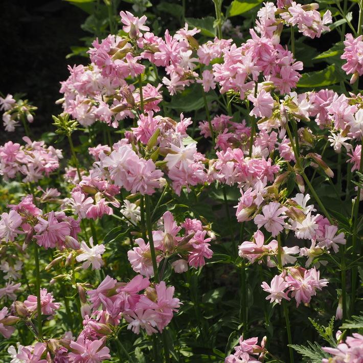 夏のお花、ヒメヒマワリ咲いた_a0292194_1621294.jpg