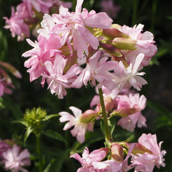 夏のお花、ヒメヒマワリ咲いた_a0292194_16222060.jpg