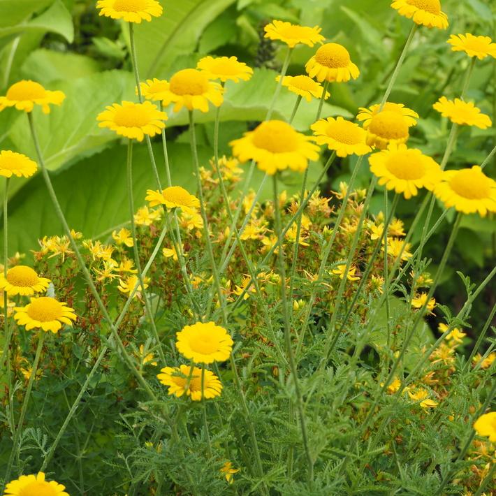 夏のお花、ヒメヒマワリ咲いた_a0292194_1644316.jpg