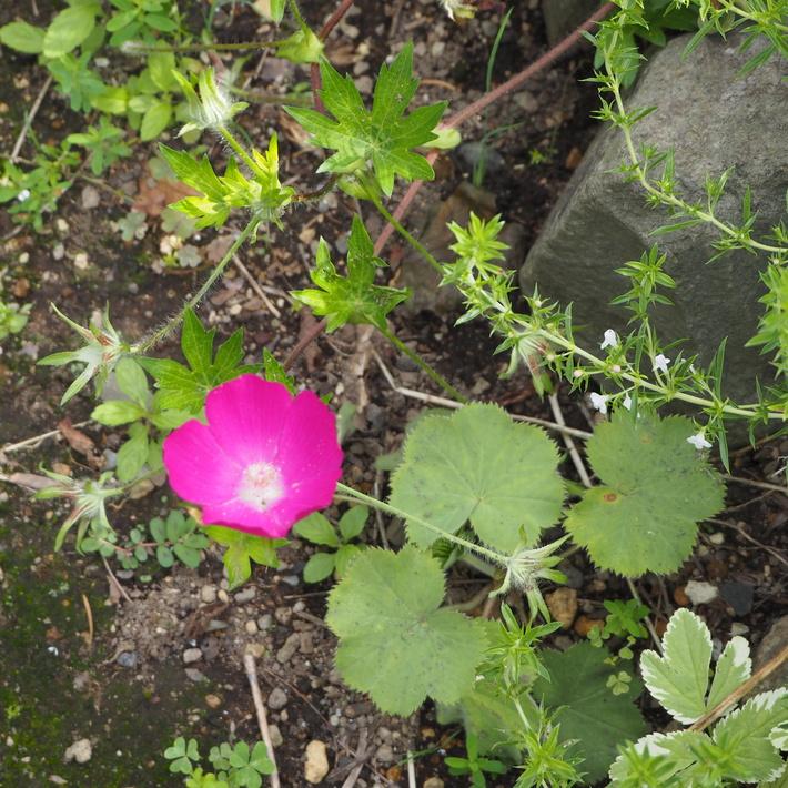 夏のお花、ヒメヒマワリ咲いた_a0292194_16521128.jpg