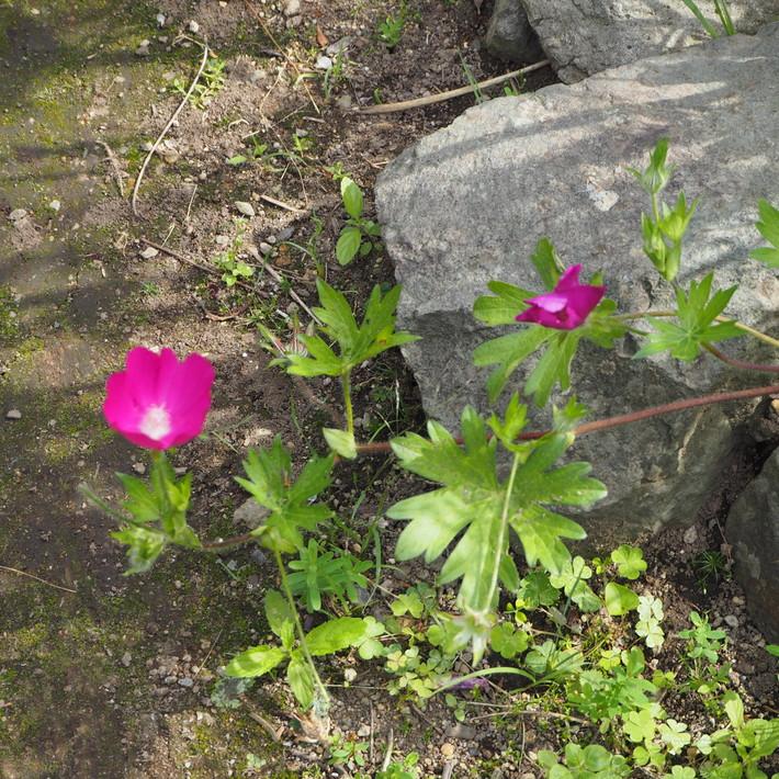 夏のお花、ヒメヒマワリ咲いた_a0292194_16524910.jpg