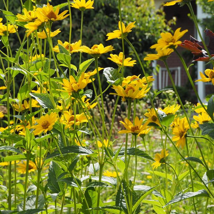 夏のお花、ヒメヒマワリ咲いた_a0292194_16564471.jpg