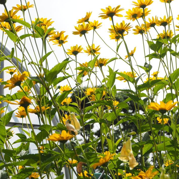 夏のお花、ヒメヒマワリ咲いた_a0292194_17315067.jpg