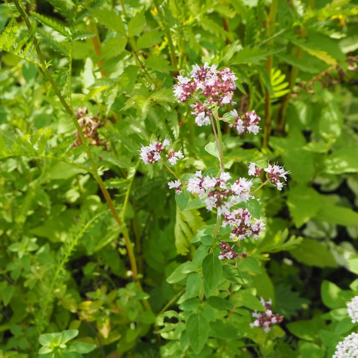 夏のお花、ヒメヒマワリ咲いた_a0292194_17331177.jpg