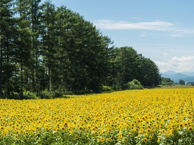 北海道らしい夏に・・カラマツ防風林沿いの「ひまわり畑」_f0276498_23275408.jpg