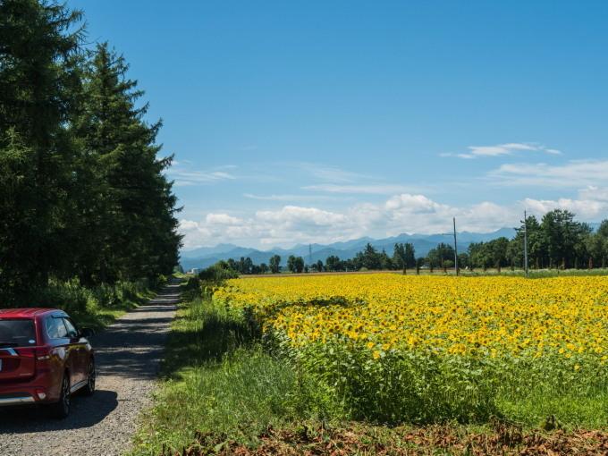 北海道らしい夏に・・カラマツ防風林沿いの「ひまわり畑」_f0276498_23292392.jpg
