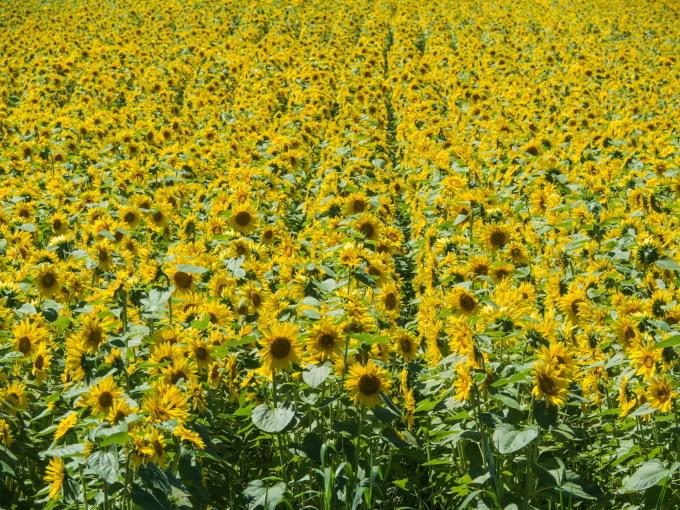 北海道らしい夏に・・カラマツ防風林沿いの「ひまわり畑」_f0276498_23344442.jpg