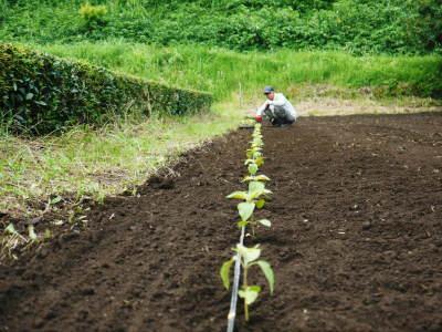 「菊池水源産エゴマ」 平成29年度もしっかり手をかけ無農薬、無化学肥料で育てます!白エゴマの土寄せ作業!_a0254656_17174806.jpg