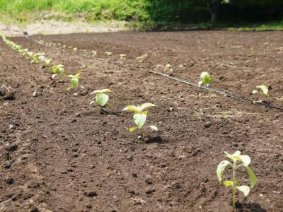 「菊池水源産エゴマ」 平成29年度もしっかり手をかけ無農薬、無化学肥料で育てます!白エゴマの土寄せ作業!_a0254656_17214390.jpg