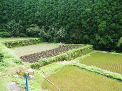 「菊池水源産エゴマ」 平成29年度もしっかり手をかけ無農薬、無化学肥料で育てます!白エゴマの土寄せ作業!_a0254656_17252692.jpg