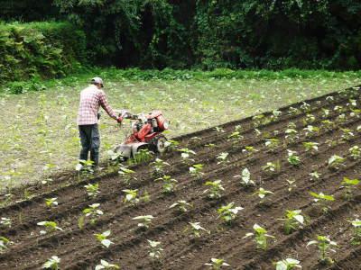 「菊池水源産エゴマ」 平成29年度もしっかり手をかけ無農薬、無化学肥料で育てます!白エゴマの土寄せ作業!_a0254656_17302375.jpg