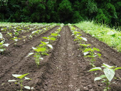 「菊池水源産エゴマ」 平成29年度もしっかり手をかけ無農薬、無化学肥料で育てます!白エゴマの土寄せ作業!_a0254656_17512264.jpg