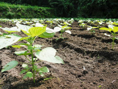 「菊池水源産エゴマ」 平成29年度もしっかり手をかけ無農薬、無化学肥料で育てます!白エゴマの土寄せ作業!_a0254656_18060147.jpg