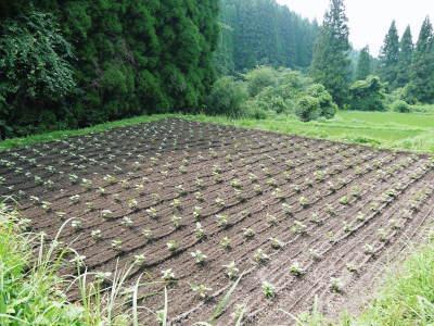 「菊池水源産エゴマ」 平成29年度もしっかり手をかけ無農薬、無化学肥料で育てます!白エゴマの土寄せ作業!_a0254656_18082495.jpg