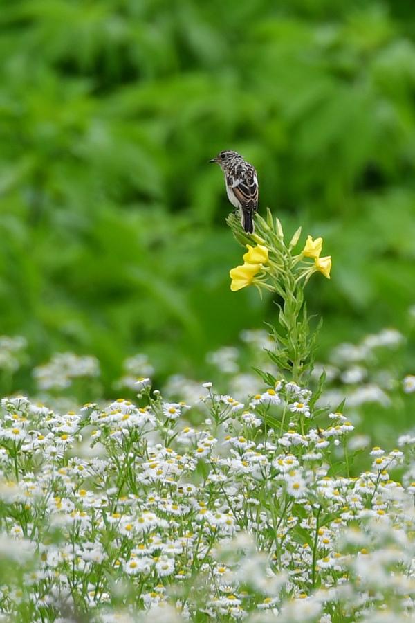 草原のノビタキファミリー_f0053272_09225647.jpg