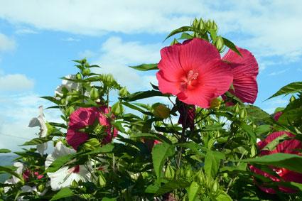 芙蓉も夏を代表する花_b0145296_131007.jpg