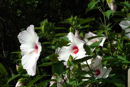 芙蓉も夏を代表する花_b0145296_13101247.jpg