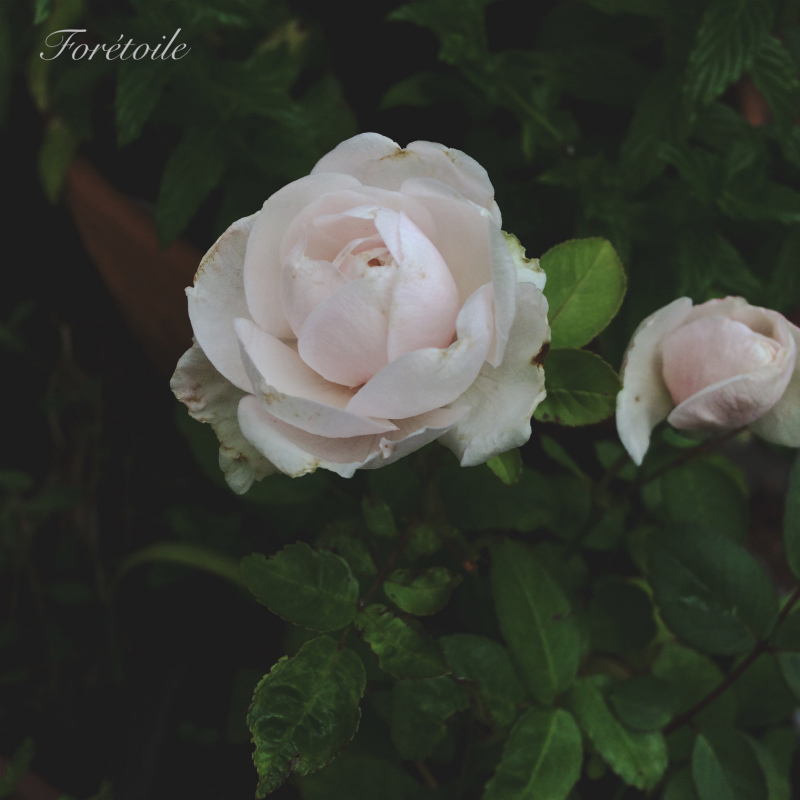 la rose ~粉粧楼~_f0377243_07073581.jpg