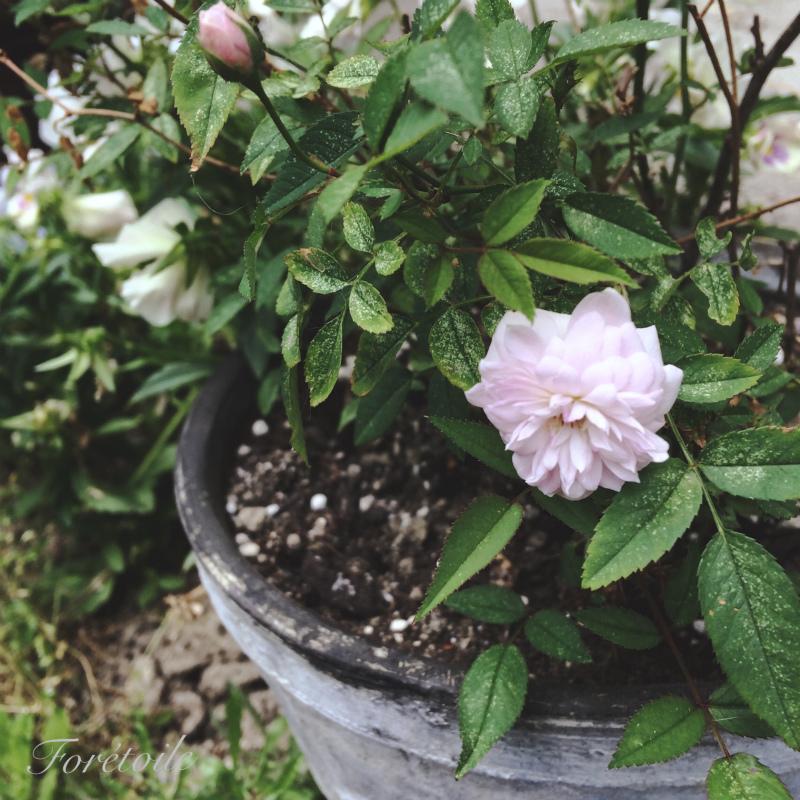 la rose ~粉粧楼~_f0377243_07081292.jpg