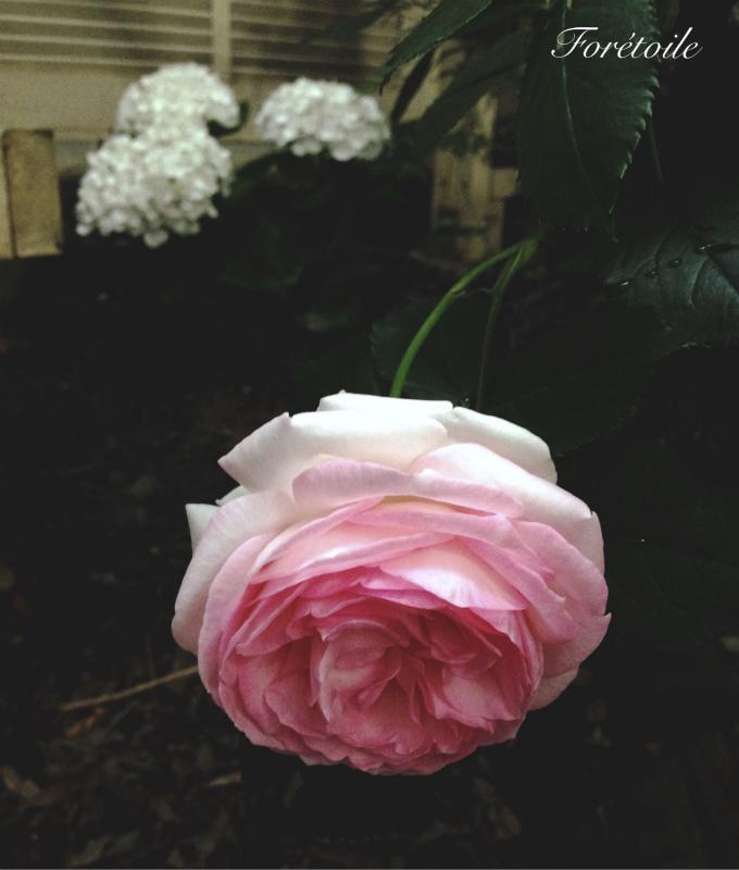 la rose ~pierre de ronsard~_f0377243_07113122.jpg
