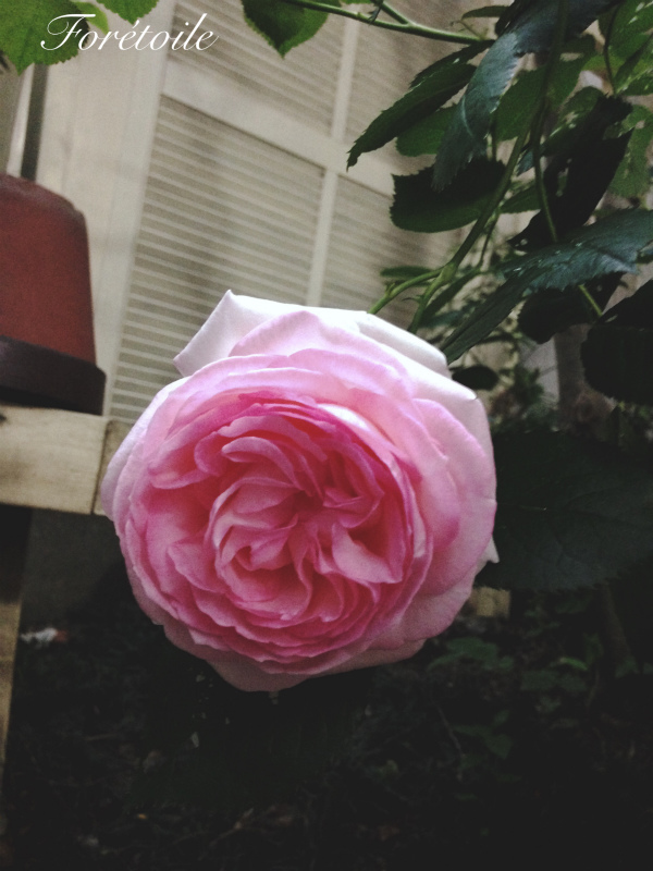 la rose ~pierre de ronsard~_f0377243_07120708.jpg
