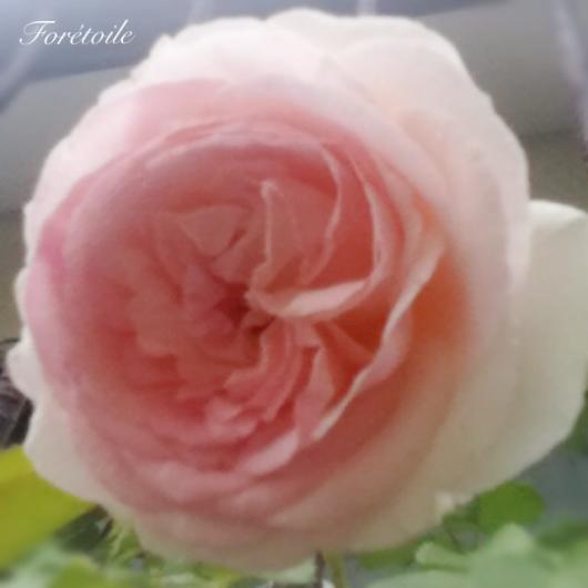 la rose ~pierre de ronsard~_f0377243_07130705.jpeg