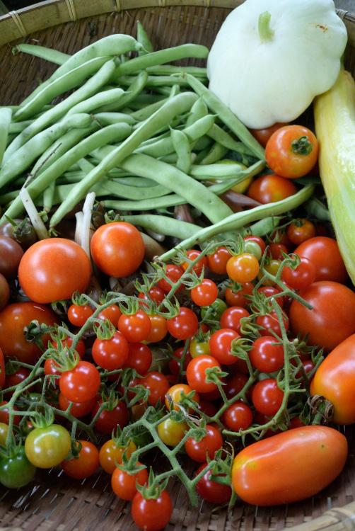 夏野菜の収穫_d0231263_2311343.jpg