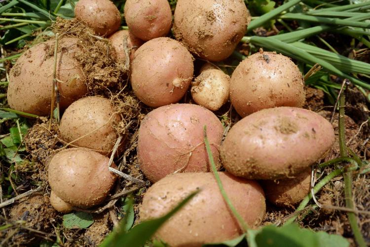 夏野菜の収穫_d0231263_2322380.jpg