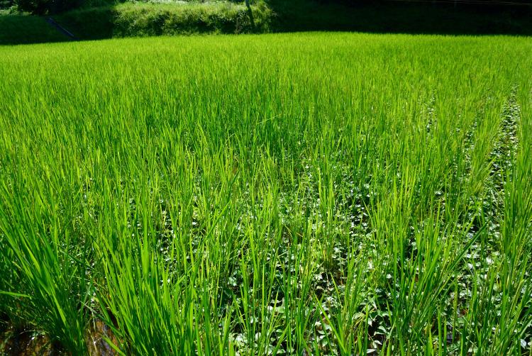 夏野菜の収穫_d0231263_2343592.jpg