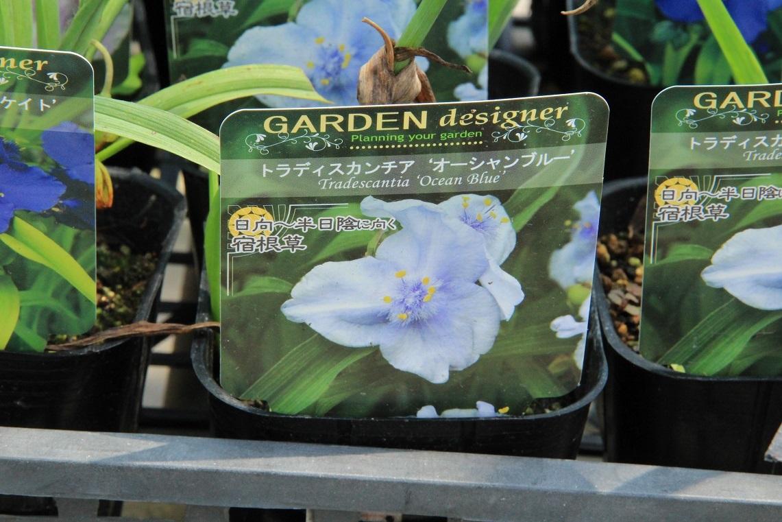 花の和名 ~オオムラサキツユクサ~_a0107574_19375379.jpg
