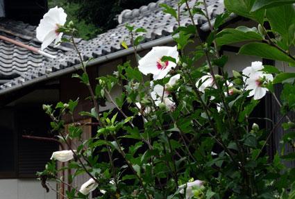 木槿も芙蓉にそっくり夏の花_b0145296_11471178.jpg