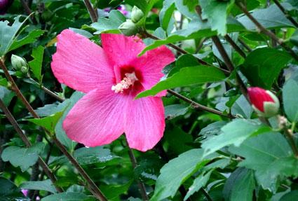 木槿も芙蓉にそっくり夏の花_b0145296_11473724.jpg