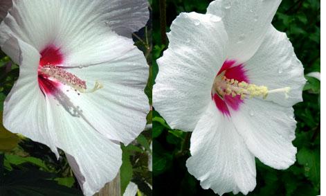 木槿も芙蓉にそっくり夏の花_b0145296_1148130.jpg