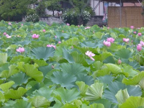 蓮の花満開_e0087201_1875430.jpg