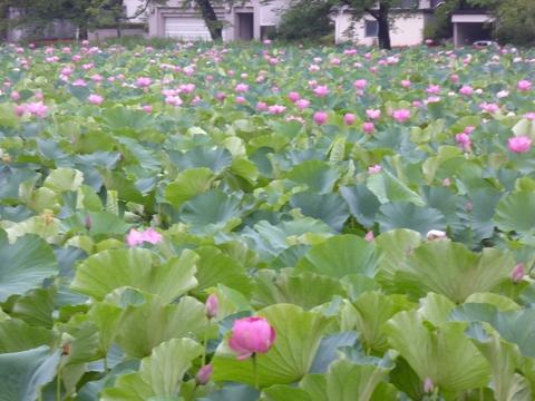蓮の花満開_e0087201_188478.jpg