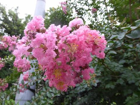 蓮の花満開_e0087201_1885569.jpg
