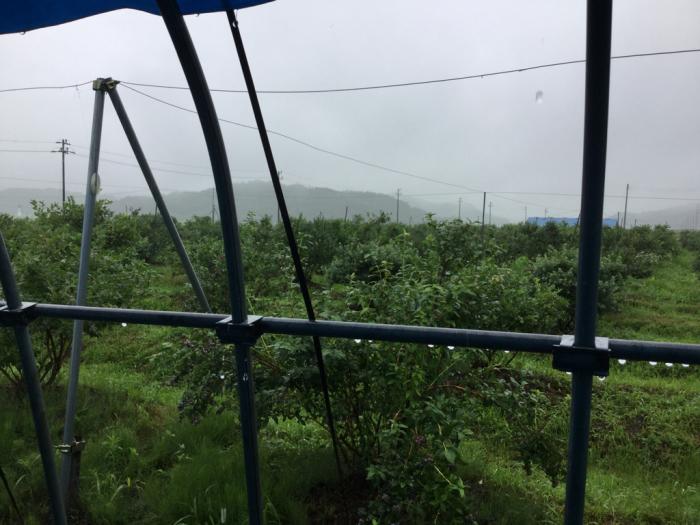雨の中の収穫_e0130334_12284511.jpg