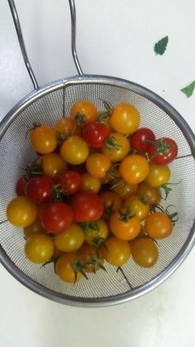 今シーズン初収穫の夏野菜_c0338136_17362837.jpg