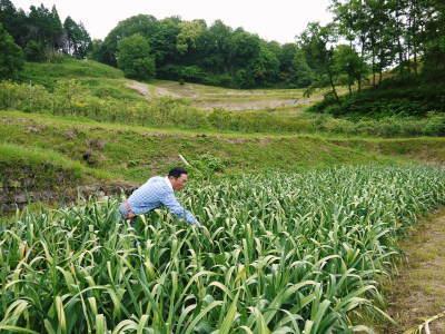 無農薬・無化学肥料で育てた熊本産『ステビアにんにく』平成29年度の予約受付スタート!!_a0254656_17280634.jpg
