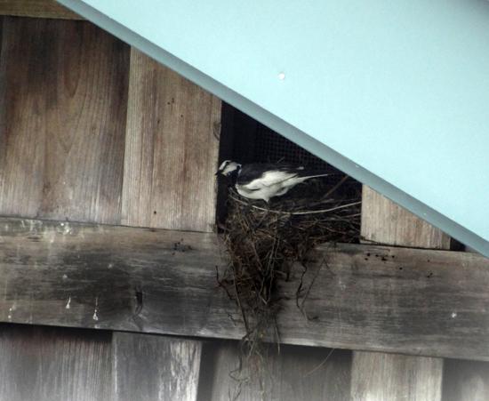 隣家の蔵の小窓のハクセキレイ♪_a0136293_15270959.jpg