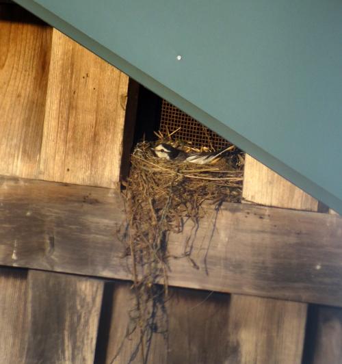 隣家の蔵の小窓のハクセキレイ♪_a0136293_15322392.jpg