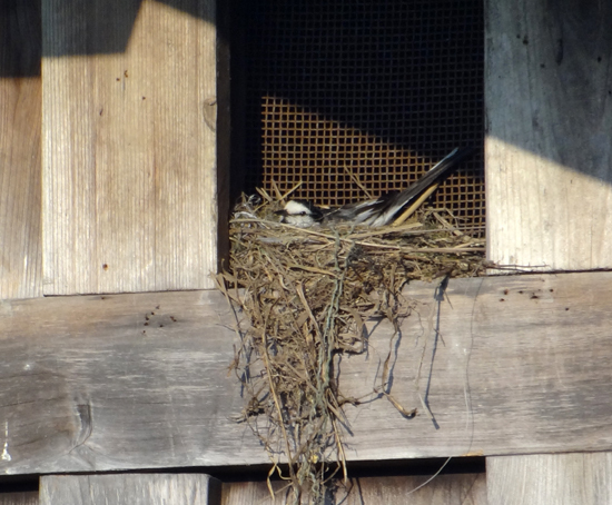 隣家の蔵の小窓のハクセキレイ♪_a0136293_15372294.jpg