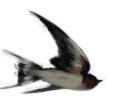 ツバメ「2度目の育雛中、巣からヒナが落下」無事に飛び立つ…2017/7/29_f0231709_05205381.png