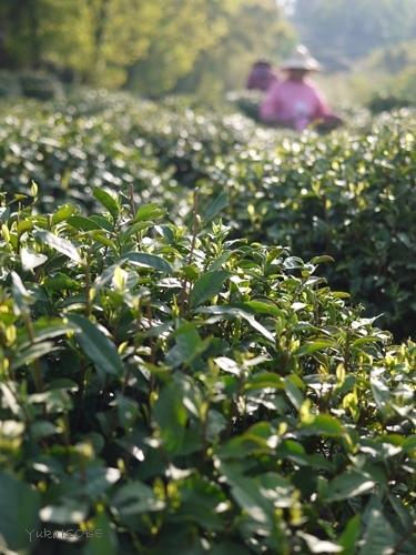 【ご案内】CT-AI主催のセミナー「中国茶の国際事情と浙江銘茶のトレンドについて」_a0169924_20583871.jpg