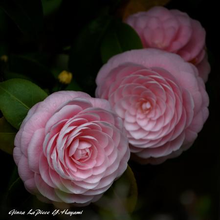 花のある風景 オトメツバキの雰囲気_b0133053_00444117.jpg